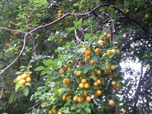 BULLACE IN TREES